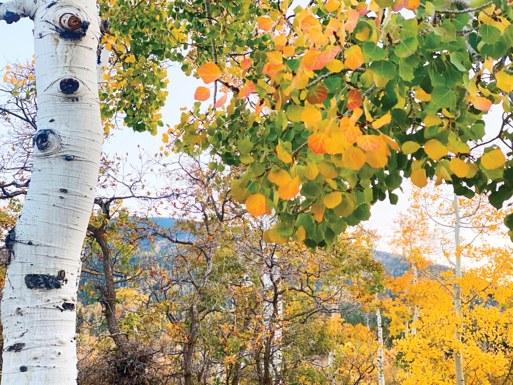 Changing aspen leaves on the Abajo Mountains.  Jessica Hayes photo