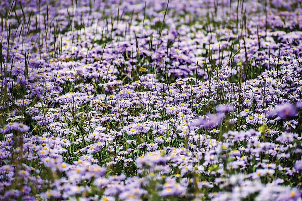 A sea of purple in the La Sal Mountains. Tiffany Smith photo