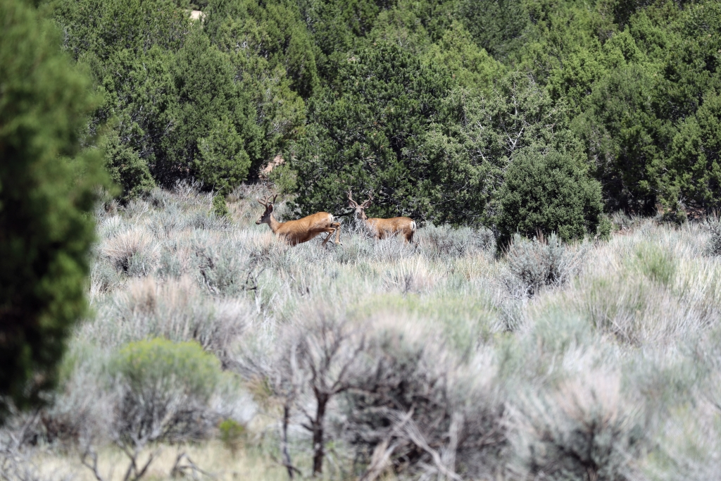A couple of young bucks try to keep one step ahead of the hunters in the field. Dan Davidson photo