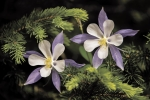 Columbines on the Blues. Kay Shumway photo